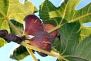 Ağaç inciri