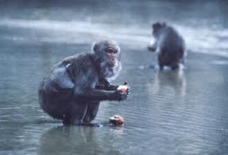 100 maymun deneyi